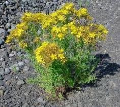 15 Health Benefits of St. John's Wort: The University of Maryland Medical Center says that this herb is as effective as Prozac, Zoloft and Celexa in treating depression but without the side effect University Of Maryland, Stress Relief, Health Benefits, Weed, Herbs, St John's, Pms, Mood Swings, Medical Center