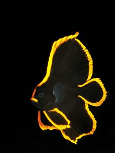Uwe Schmolke Germany  Golden - juv. batfish  Location: Indonesia