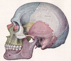 sutures of the skull | ... of the skull and its relationship to cerebrospinal fluid csf flow in