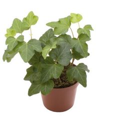 English Ivy 'Green Ripple' - Hedera Helix