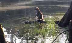 Meanwhile in Florida, a Raccoon is Riding on top of an Alligator - Neatorama