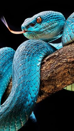 Fabulous So You Want A American Pit Bull Terrier Ideas is part of Colorful snakes Uplifting So You Want A American Pit Bull Terrier Ideas Fabulous So You Want A American Pit Bull Terrier Idea - Pretty Snakes, Beautiful Snakes, Beautiful Creatures, Animals Beautiful, Cute Animals, Blue Pits, Pitbull Terrier, Beaux Serpents, Regard Animal