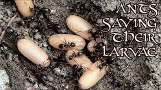 Ants Saving Their Larvae