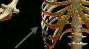 Schooltv: Geraamte bovenlichaam - Welke botten zitten er tussen je borst en je hoofd?