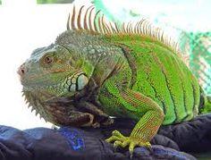 Iguana (fauna)