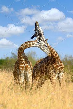 Giraffe Photos Giraffe on savannah in National park of Africa by byrdyak