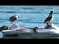 Pelicans like to have FUN, too!!!