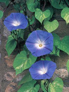 Red, White and Blue Flowers for your Garden - Heavenly Blue Morning Glory >> http://www.hgtvgardens.com/photos/flowerworks-red-white-and-blue-flowers?s=18=pinterest