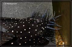 Ancistrus L 184 Beautiful Fish, Catfish, Tropical Fish, Aquarium Fish, Fresh Water, Shrimp, Numbers, Photos, Pisces