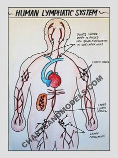 Buy Human Lymphatic System Charts Online Buy Human Lymphatic System Charts Online for schools as well as students regarding their project.