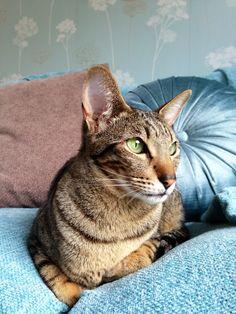Pretty pretty Zara the Serengeti cat