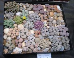 One of the most unique, earthy plants to collect. Lithops - living stones. #gardenchat