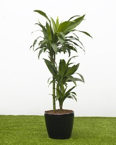 http://www.houseofplants.co.uk/office_plant_dracaena_janetcraig_Classico_Quadro_28.htm