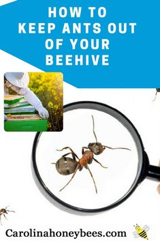 Learn techniques to help keep ants out of your beehive. Protect your hives from ant infestations. #ants #beehives #beekeeper #beekeeping