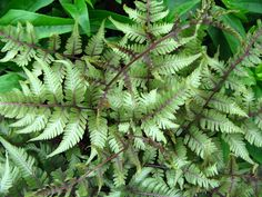 ATHYRIUM NIPONICUM PICTURM 'Applecourt' -crested Japanese painted fern, hardier than other Japanese painted ferns. Z4