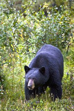 El oso negro (Ursus americanus) mide generalmente entre 140 y 200 cm de largo. Su altura hasta la cruz es de entre 100 y 130 cm.  El oso negro es más pequeño que el oso polar y el oso pardo. Su peso depende de la edad, del sexo del animal y la temporada: en otoño, el oso negro engorda y acumula reservas de grasa con el fin de pasar el invierno. Las hembras pesan entre 40 kg y 180 kg (media de 70–80 kg), mientras que los machos pesan entre 60 y 275 kg (media de 120 kg).