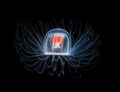 Com'è fatta una #medusa? - vol.2 #Jellyfish #TurritopsisNutricola Se siete curiosi leggete l'articolo di Glob-Arts: http://glob-arts.blogspot.it/2014/02/come-fatta-una-medusa-vol2.html