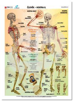 Člověk - Kostra ll. English Language, Human Body, Health Fitness, Activities, Education, Learning, School, Children, Dream Job