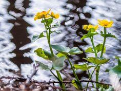 Marsh-marigold - Rannan rentukka by Pauliina Kuikka on YouPic Marsh Marigold, Nikon D300, Nature, Flowers, Plants, Naturaleza, Florals, Plant, Off Grid