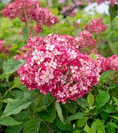 Buy sevenbark ( Ruby Annabelle ) Hydrangea arborescens 'Ruby Annabelle ('NCHA3') (PBR)': Delivery by Crocus