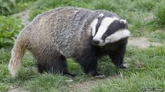 Badger in England