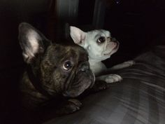 Brindle french bulldog. Baby face I HAVE TO HAVE THEM!!!!!