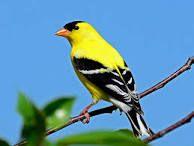 Washington state bird American goldfinch 'Lightening bird'
