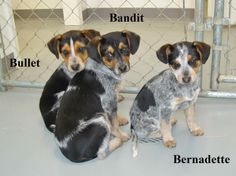 Bernadette and her brothers Bullet and Bandit came into the shelter as strays. They look to be around 10-weeks-old and we are guessing them to be beagle or coonhound mixes. They are sweet puppies and they will be ready for new homes on 2-11. If you...