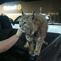"""Pulling into Walmart with my room-mate when we both go, """"Is that a fucking bobcat?"""" - more pix @ Imgur"""