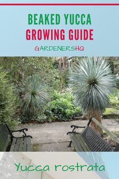 Advice on Growing Yucca rostrata, the Beaked yucca, in your Garden. Gardeners HQ Plant Growing Guides