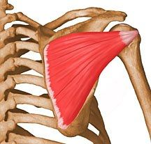 Yoga Tune Up Blog: The Spin on the Infraspinatus.