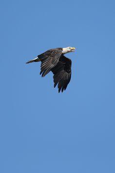 pygargue à tête blanche / bald eagle | Flickr - Photo Sharing!