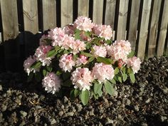 Rhododendron - Dreamland (Rhodedendron Dreamland)