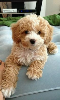 I want a cavapoo (king charles cavalier/poodle mix) he looks like a teddy bear! i want one CAVA/poodle mixwhere did you get it ? Chien Goldendoodle, Cavapoo Puppies, Cute Puppies, Cute Dogs, Dogs And Puppies, Cockapoo, Cavachon, Spaniel Puppies, Teddy Bear Puppies