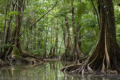 Arbres à contreforts sur la Crique Pierre en Guyane Française