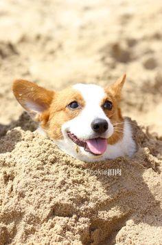 Resultado de imagen para corgi sand