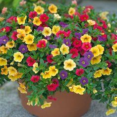 Petunia planter