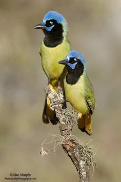 Green Jay (Cyanocorax yncas) in Texas