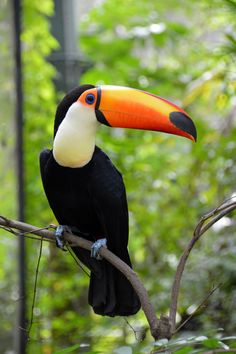 Toco Toucan (Ramphastos toco) - great ideas for your home - Essen Tropical Animals, Tropical Birds, Exotic Birds, Colorful Birds, Colorful Animals, Small Birds, Rainforest Animals, Jungle Animals, Cute Animals