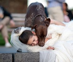 #Antosha, German Pointer, was posing with bride (model) and jumped on her ...