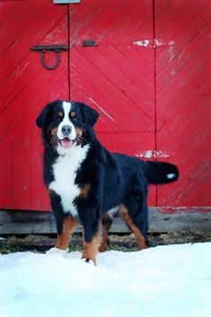 Bernese Mountain dog - we always rout for this beautiful breed of dog @ the annual Westminster Dog Show!! #BerneseMountainDog