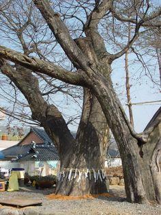 Sacred tree / Dang-namu or guardian tree spirit of Samijeon, Korea