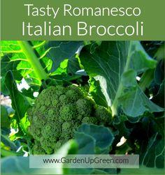 Tasty Romanesco Italian Broccoli