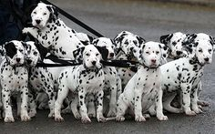Record Breaking litter of 18 dalmatian puppies  in UK taken for a walk  (11wks)