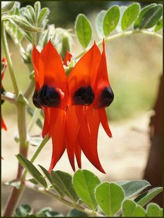 Sturt desert pea ~ State flower of South Australia. Been in 'outback' South Australia and seen these growing wild. Exotic Plants, Exotic Flowers, Love Flowers, Wild Flowers, Beautiful Flowers, Unusual Plants, Beautiful Gardens, Australian Wildflowers, Australian Native Flowers