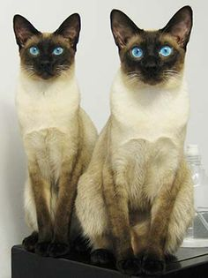 Siamese - The modern Siamese is characterized by blue almond-shaped eyes, a triangular head shape, large ears, an elongated, slender, and muscular body, and point coloration. Siamese tend to seek human interaction and also like companionship from other cats. The Oriental cat was developed in order to expand the range of coat patterns, while the Thai preserves a moderate head and body type.