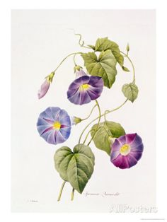 Morning Glory - Pierre Joseph Redouté as art print or hand painted oil. Morning Glory Tattoo, Blue Morning Glory, Morning Glory Flowers, Vintage Botanical Prints, Botanical Drawings, Botanical Illustration, Botanical Flowers, Botanical Art, Art Floral