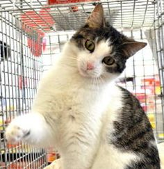 Please... someone stop me.... I can NOT add another critter to the house....    Amber is an adoptable Domestic Short Hair Cat in Farmington, MN. Amber is an adorable 1 year domestic short hair, brown tabby with white kitty. She is very kitten like and loves to play. She is very f...