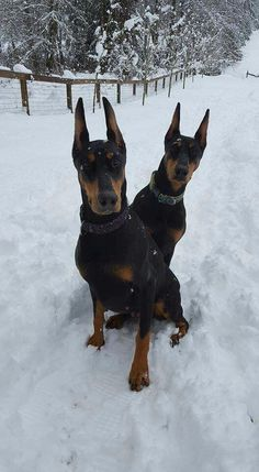 The Doberman Pinscher is among the most popular breed of dogs in the world. Known for its intelligence and loyalty, the Pinscher is both a police- favorite Perro Doberman Pinscher, Doberman Puppies, Doberman Love, Dogs And Puppies, Blue Doberman, Doggies, Dobermann Tattoo, I Love Dogs, Cute Dogs