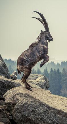 Picture of an alpine ibex : Picture of an alpine ibex. Picture of an alpine ibex. Animals With Horns, Animals And Pets, Baby Animals, Funny Animals, Cute Animals, Strange Animals, Cabras Animal, Wild Animals Pictures, Rare Animals
